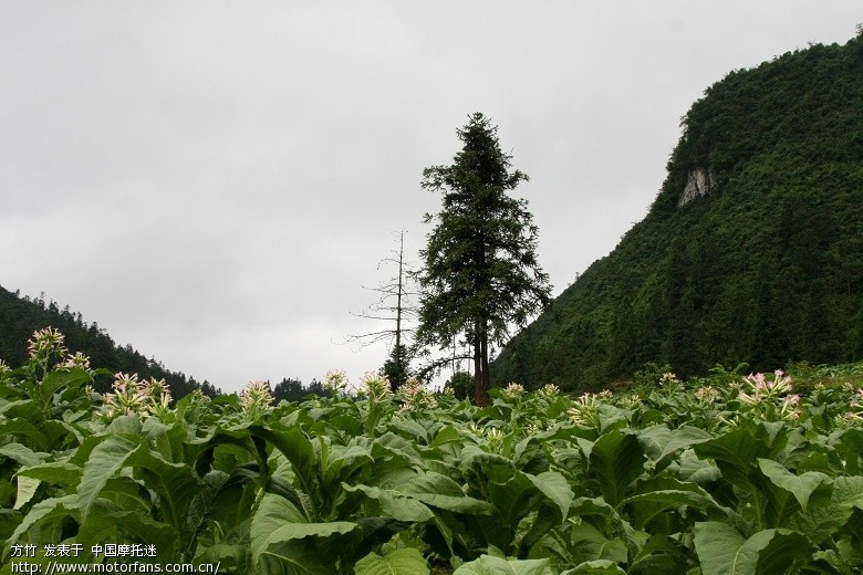 桐梓九坝 (229)-烟叶花也是一道风景线.jpg
