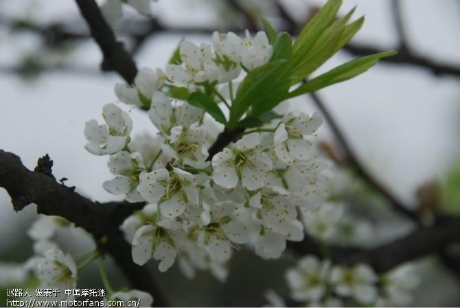 一枝梨花压海棠.jpg
