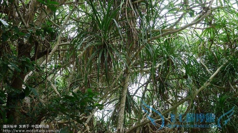 导游说,这叫血龙树,如果折断流出的树液是红色的,很多很多功效,不记得