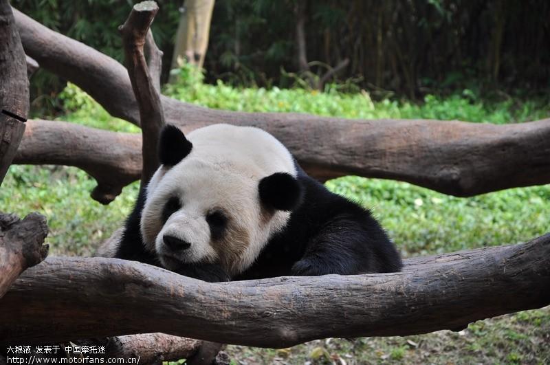 番禺野生动物园-熊猫.jpg
