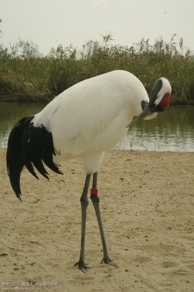 我看到有一只丹顶鹤的长长的喙受伤折断了,被用扎带简单的绑缚着,如果