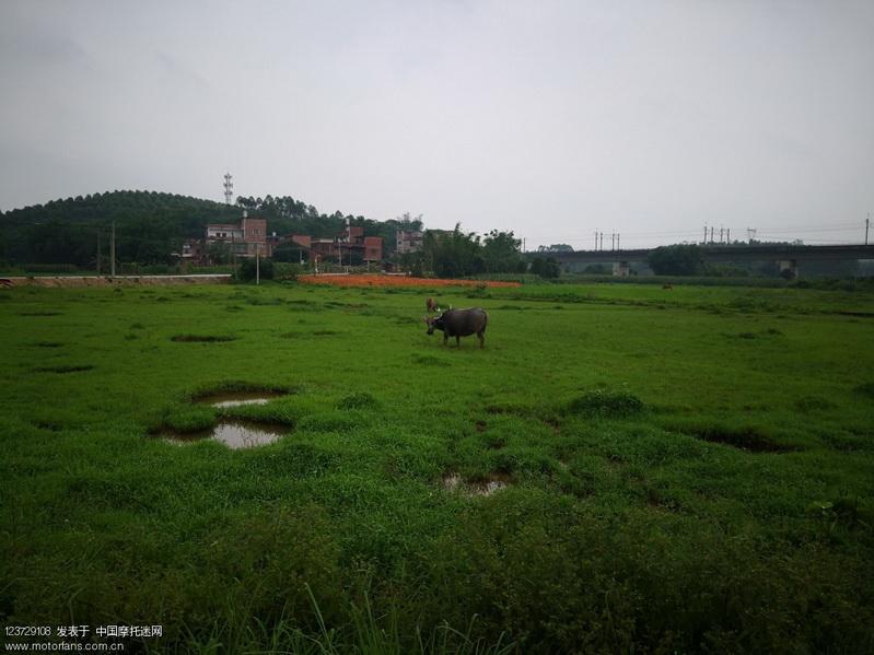 绿海中的牛牛