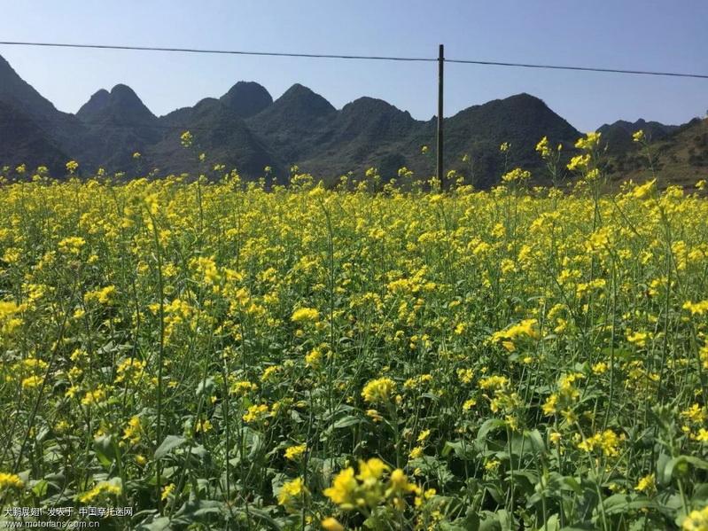 金黄的油菜花