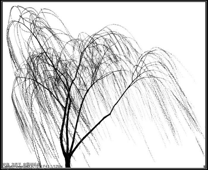 手绘柳树图片大全