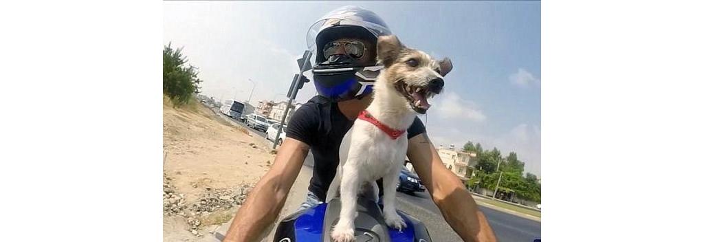 土耳其骨灰级车迷宠物狗坐主人摩托车上飞驰