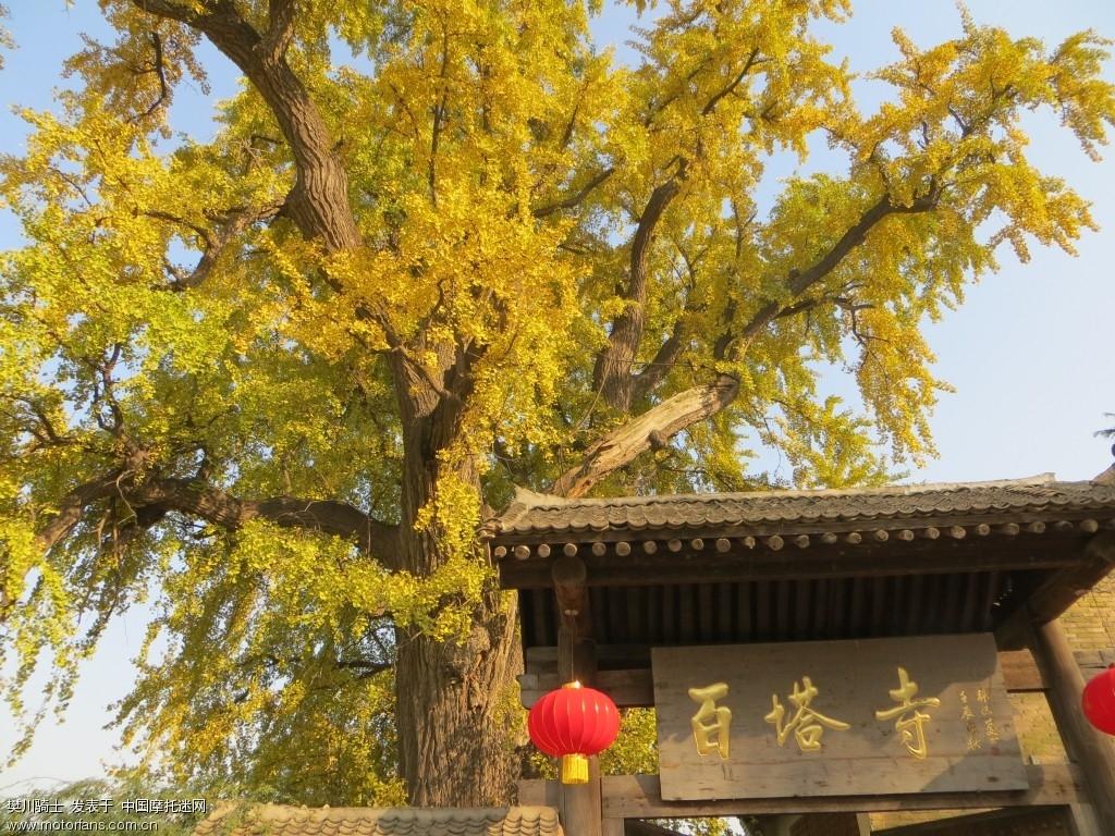 满树尽带黄金甲,千年银杏中国黄